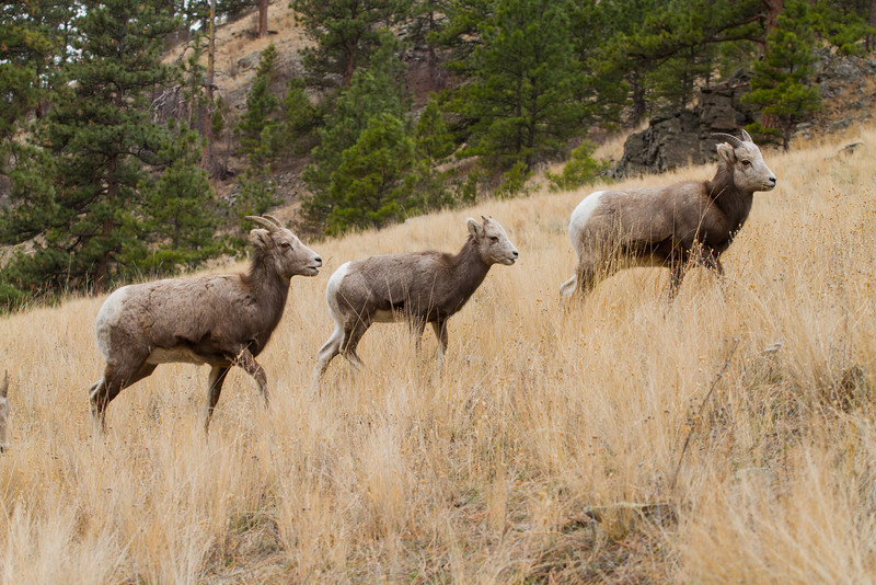 Bighorn sheep from Dec 21