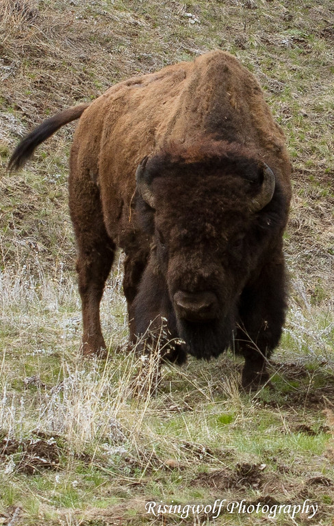 Bison at home on the range