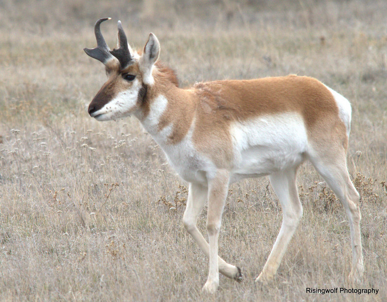 Pronghorn and Bison