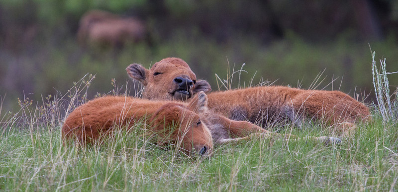 Ahh to be young again, bison calves