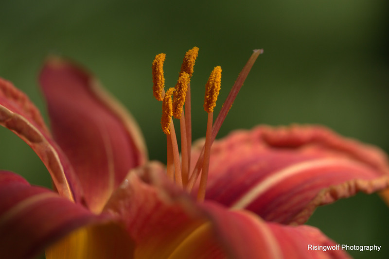 Different perspective on the Day Lily