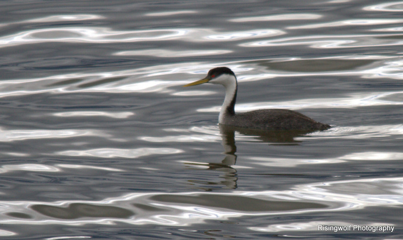 Western Grebe on liquid silver