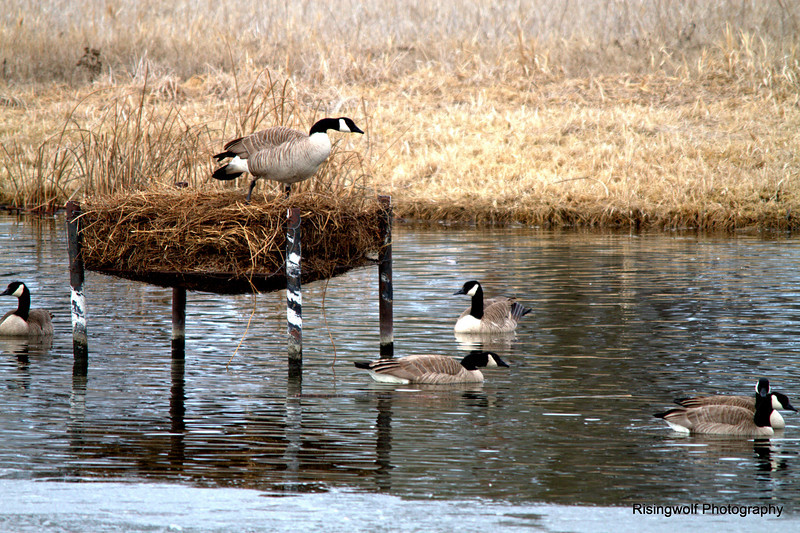 Canada Geese and new lens