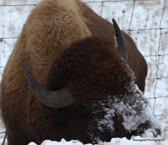 Winter Montana Bison