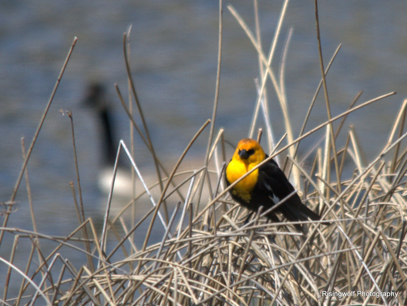 Marsh Wren and Yellow headed blackbird