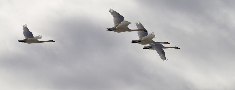 Trumpeter Swans and Gyrfalcon